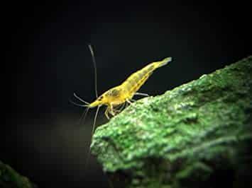 1-live-freshwater-neon-yellow-shrimp-5-to-1-java-moss