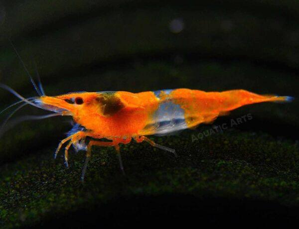 Orange Rili Shrimp 1 1024x1024 2477263 600x460