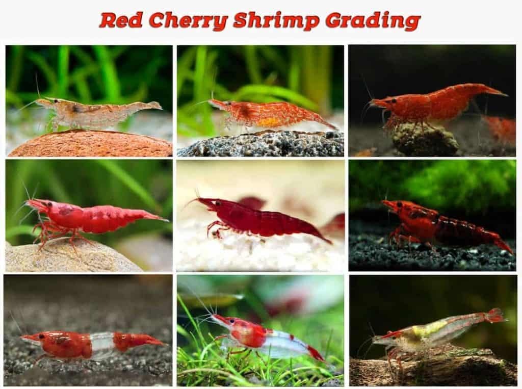 what-grade-is-my-red-cherry-shrimp-3