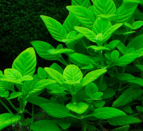 Limnophila Rugosa Aquatic Plant For Sale And Where To Buy Aquaticmag 9035939 501x460