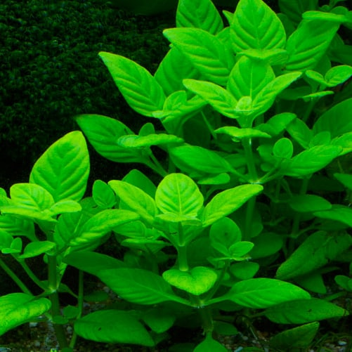 Limnophila Rugosa Aquatic Plant For Sale And Where To Buy Aquaticmag 9035939