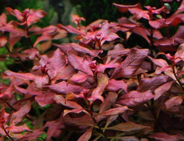 Ludwigia Palustris Super Red B4 4882246 600x460
