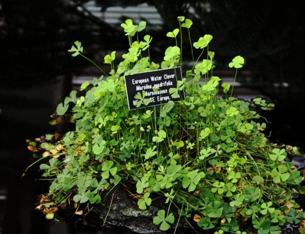 Marsilea Quadrifolia Plants 6964530 600x460