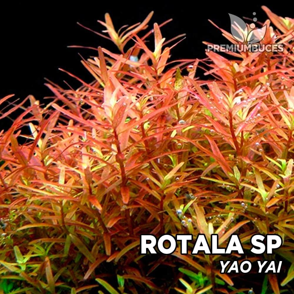 rotala-sp-yao-yai-2