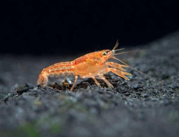 Orange Cpo Dwarf Crayfish 10 1024x1024 2979499 600x460