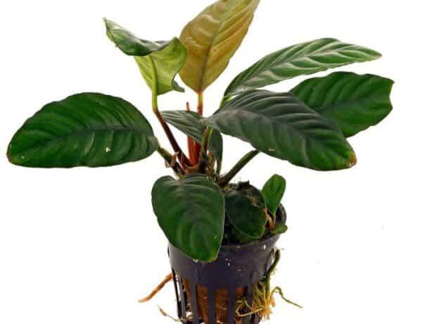 Anubias Coffeefolia 6070772 600x460