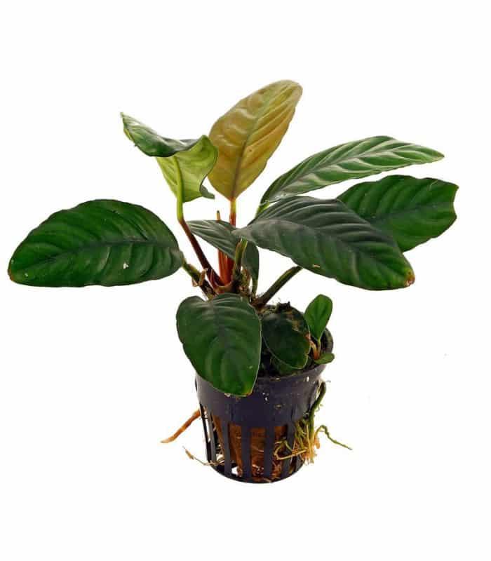 anubias-sp-coffeefolia-2