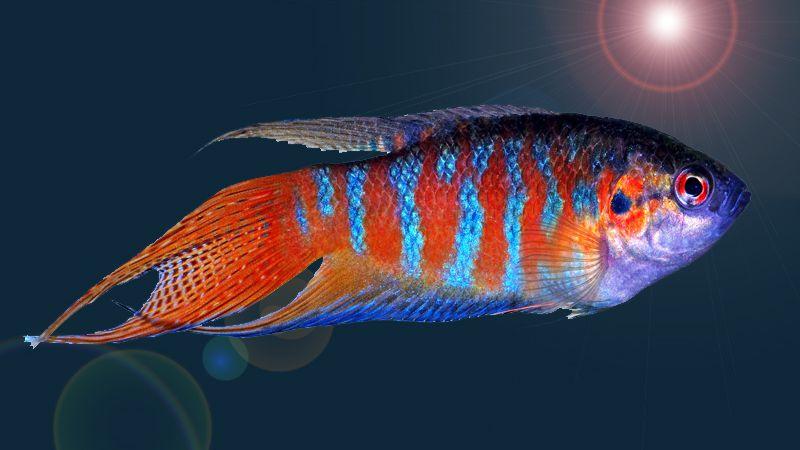 paradise-fish-information-3