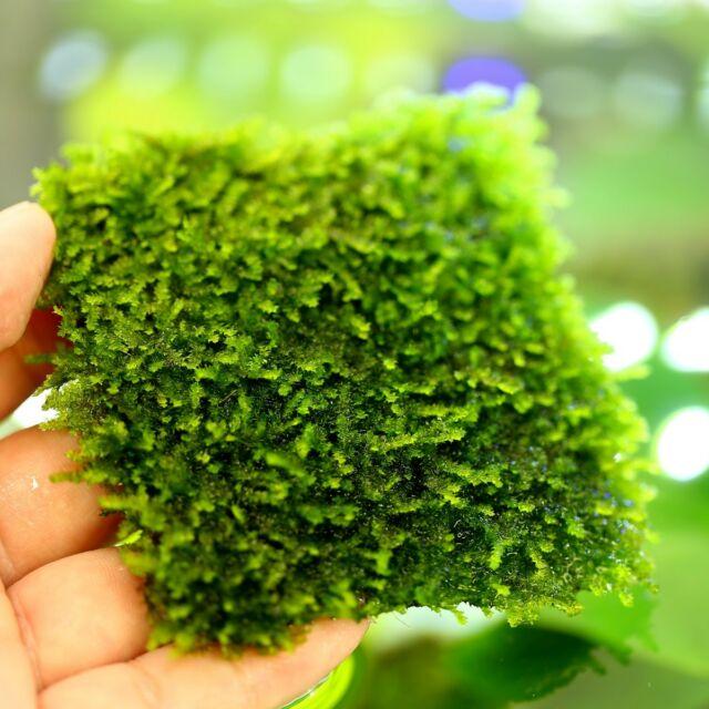7x7cm-taiwan-moss-pad-live-aquarium-fish-tank-plants-water-low-light-tropical-2