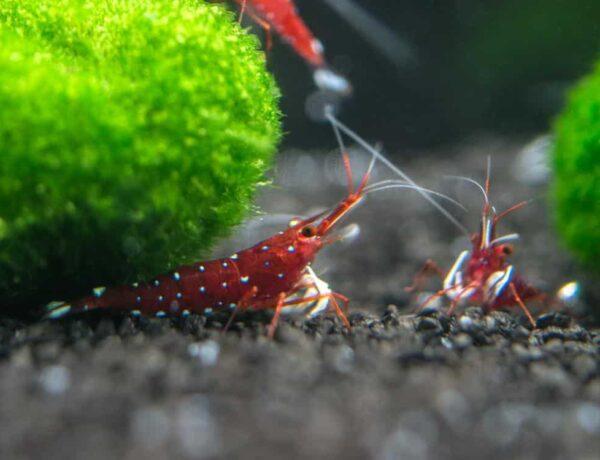 Cardinal Sulawesi Shrimp 3 1024x1024 5217023 600x460