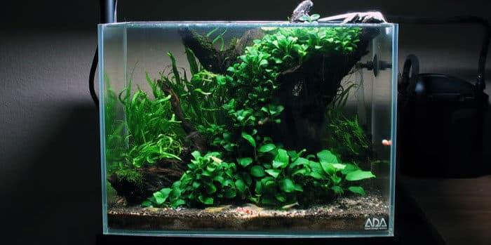 Anubias Best Aquascaping Aquarium Plant To Use Aquaticmag 5181951