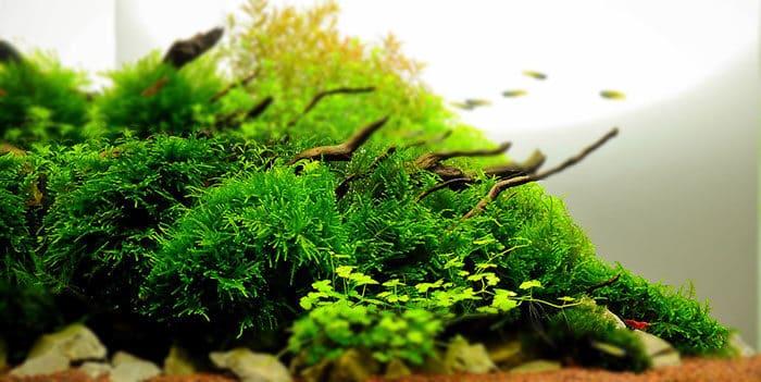 Christmas Moss Best Aquascaping Aquarium Plant To Use Aquaticmag 1449992