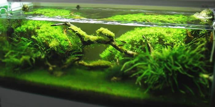 Rotala Green Best Aquascaping Aquarium Plant To Use Aquaticmag 4144950