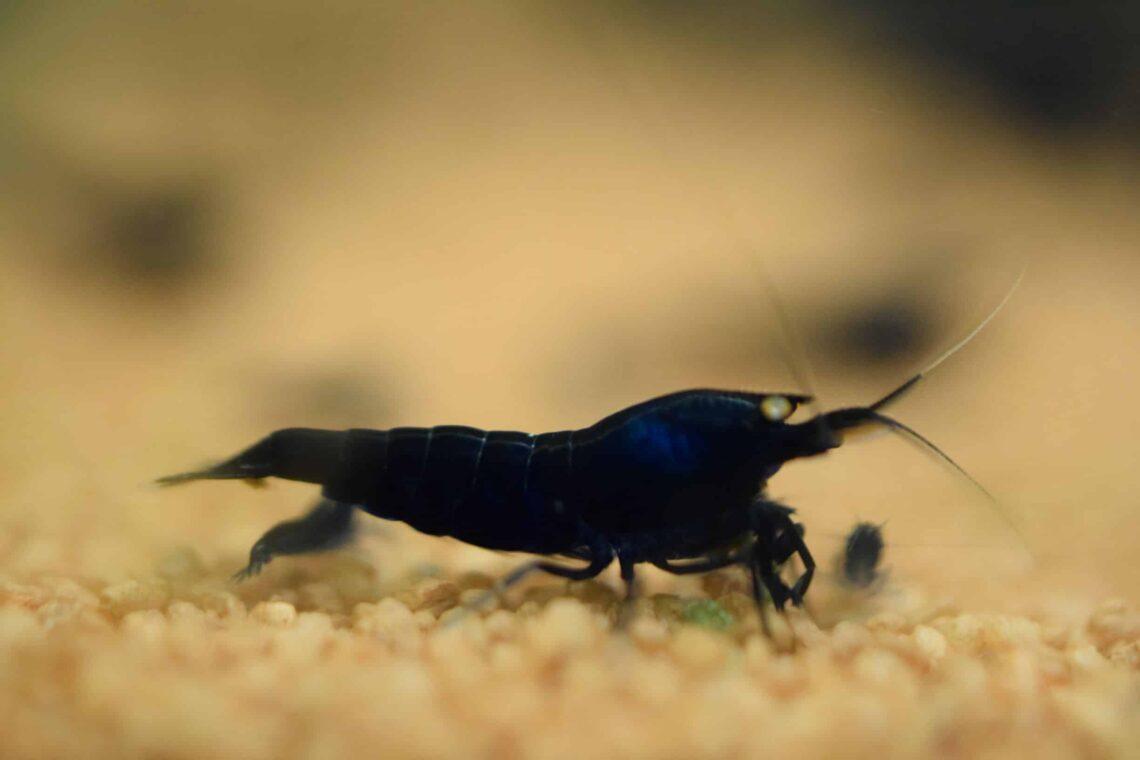 orange-eye-black-tiger-shrimp-information-2