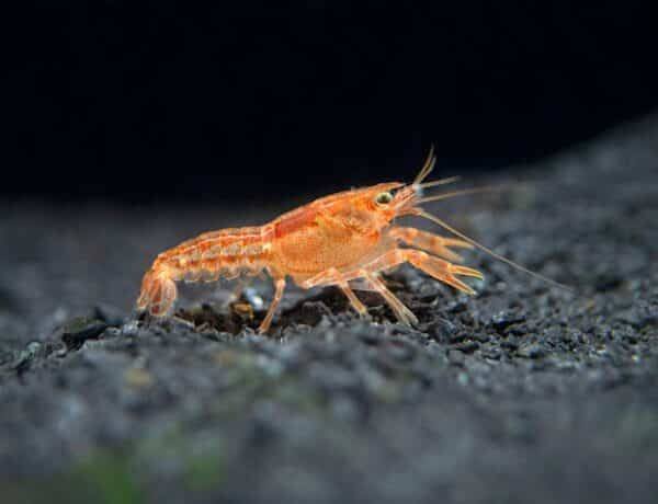 Orange Cpo Dwarf Crayfish 10 1024x1024 7100216 600x460