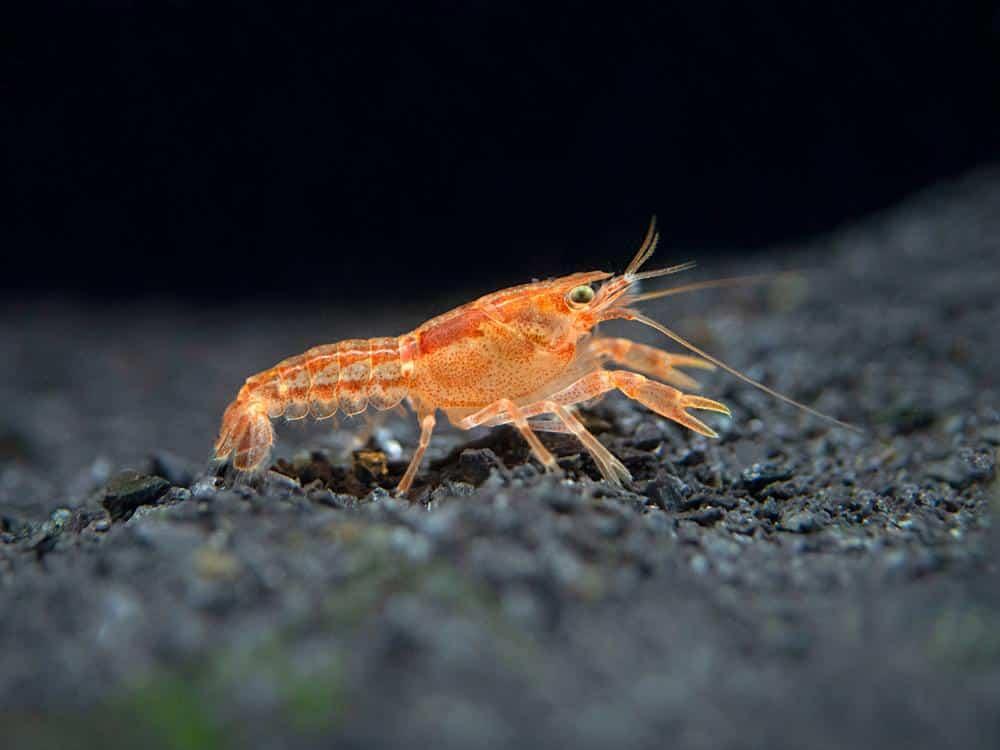 1-male-female-pair-of-orange-cpo-dwarf-mexican-crayfish-mini-lobsters