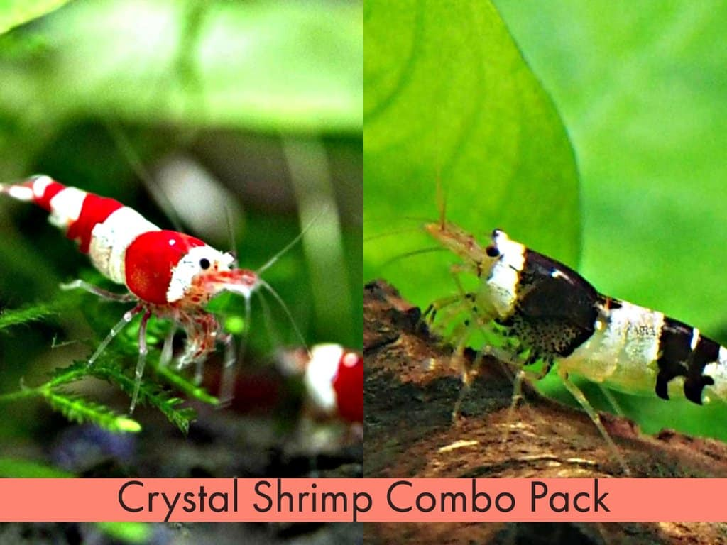 crystal-black-shrimp-3
