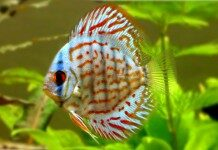 Discus Fish Information And Wiki Discus Fish For Sale And Where To Buy Aquaticmag 218x150 2162795