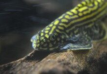 Hillstream Loach Beaufortia Kweichowensis Information Hillstream Loach For Sale And Where To Buy Aquaticmag 1 218x150 4622249