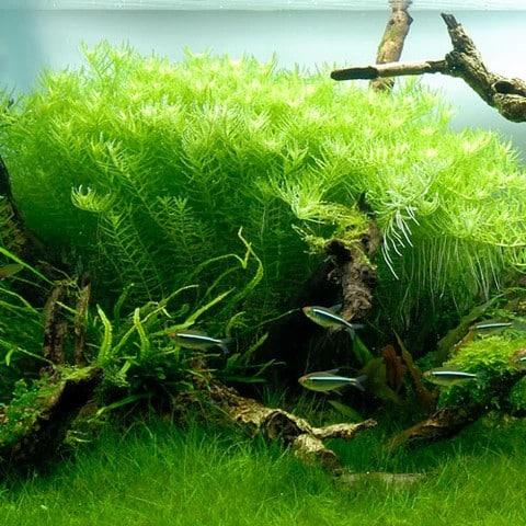 rotala-green-2