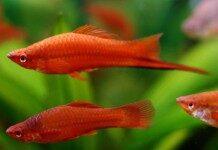 Swordtail Fish Information Xiphonphorus Helleri Swordtail Fish For Sale And Where To Buy Aquaticmag 2 218x150 9968114