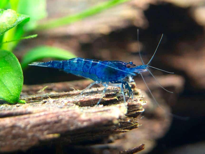 Dream Blue Shrimp 18.2 1024x1024 5229407