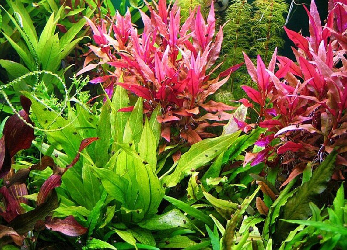 Alternanthera Reineckii Roseafolia For Sale Aquaticmag 5 86067.1581259559 8065879 1140x822