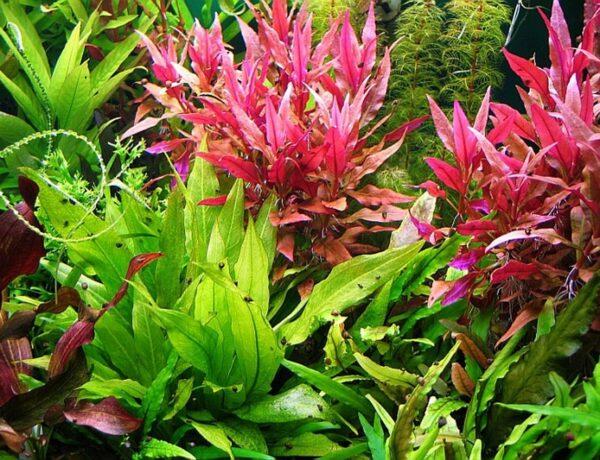 Alternanthera Reineckii Roseafolia For Sale Aquaticmag 5 86067.1581259559 8065879 600x460