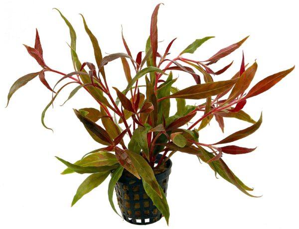 Alternanthera Reineckii Rosaefolia Pink 4699839 600x460