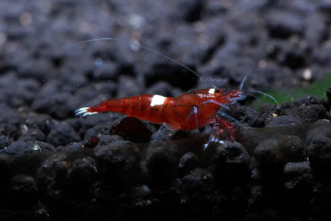 wine-red-shrimp-information-2