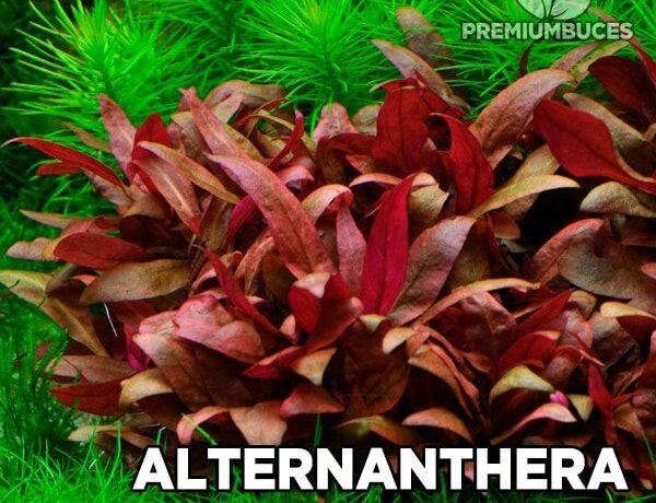 Alternanthera Reineckii Mini 1 5303681 600x460
