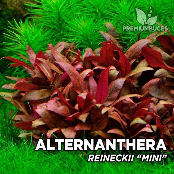 alternanthera-reineckii-mini-3