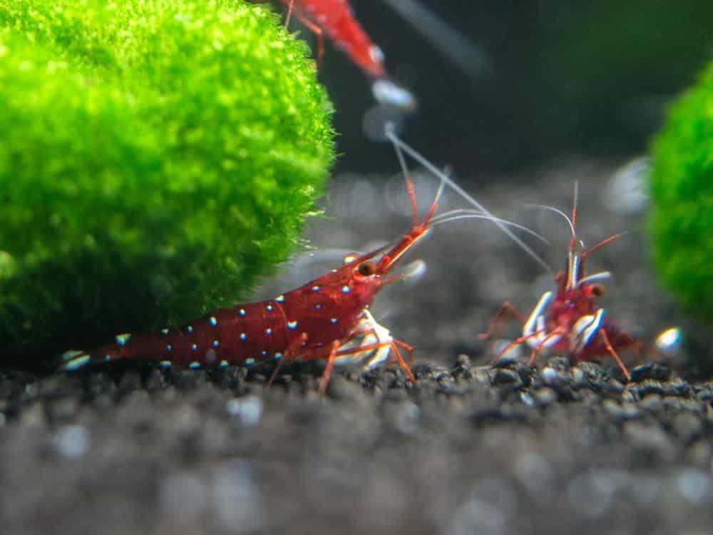 cardinal-sulawesi-shrimp-information-3