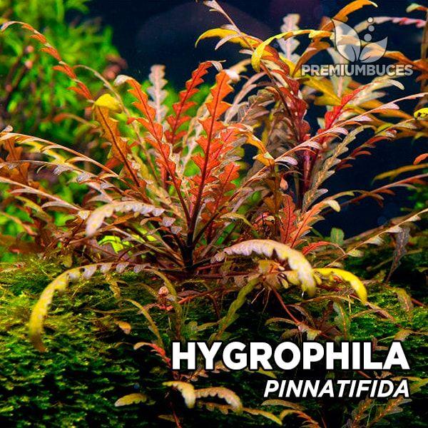 hygrophila-pinnatifida-2