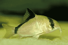 Bandit Corydoras Catfish 6834814