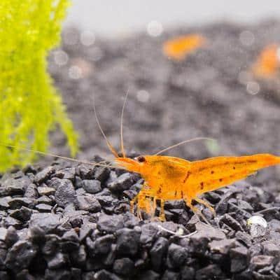 Tangerine Tiger Shrimp 11773869064273 400x400 Crop Center 4723350