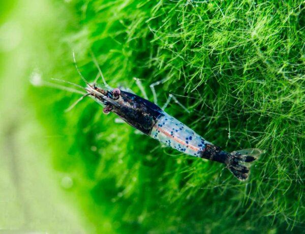 Black Rili Shrimp 2 1024x1024 4175075 600x460
