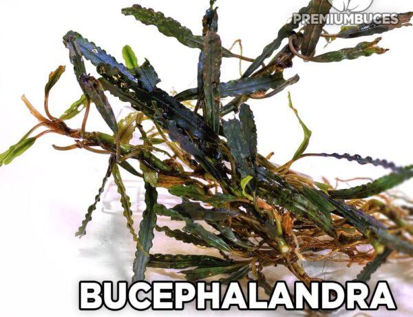Bucephalandra Belindae 6323853 600x460