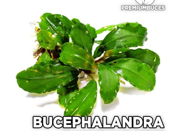 Bucephalandra Lamandau Classic 2595682 600x460