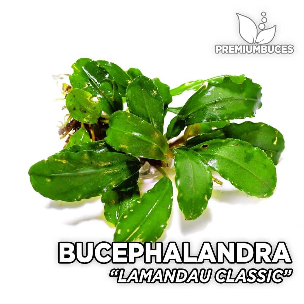 bucephalandra-lamandau-green-2