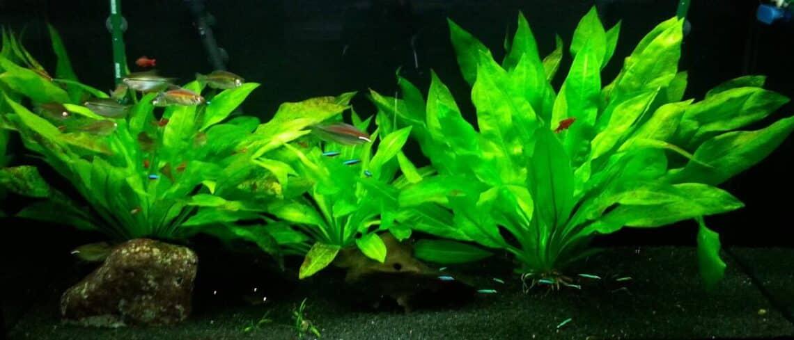 echinodorus-amazonicus-amazon-sword-aquatic-plant-for-sale-and-where-to-buy-aquaticmag-2