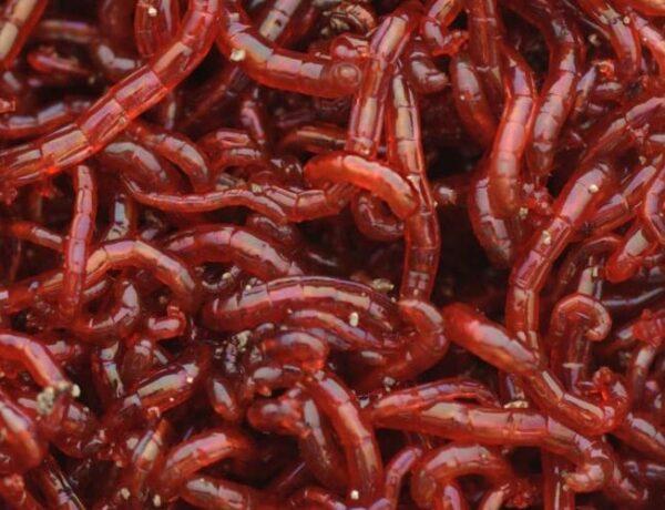 Bloodworms Featuredimage01 5181356 600x460