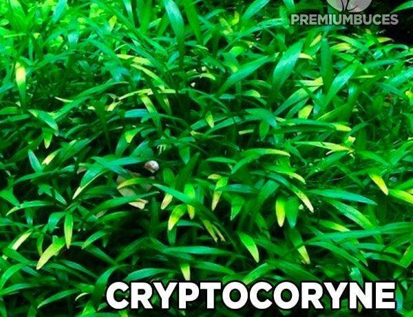 Cryptocoryne Parva 1 1414255 600x460