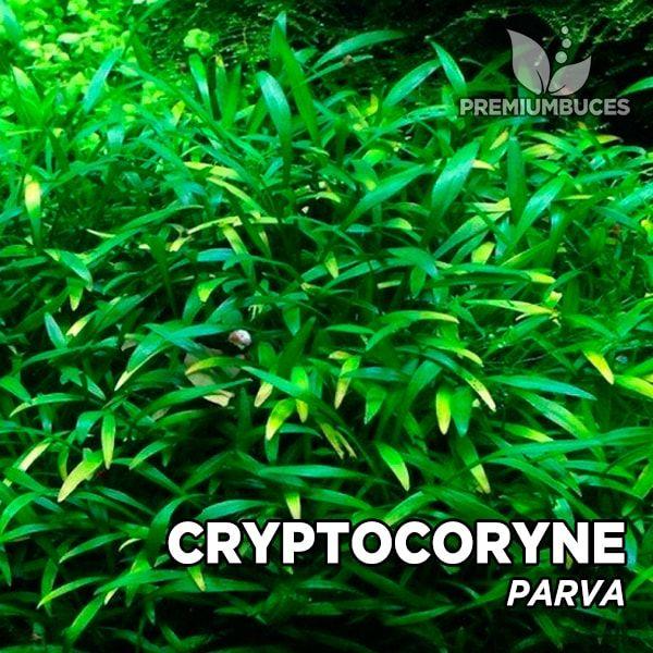 cryptocoryne-parva-2