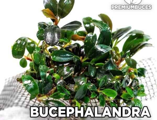 Bucephalandra Kedagang Mini 5903285 600x460