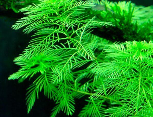 Myriophyllum Mattogrossense3 4872036 600x460