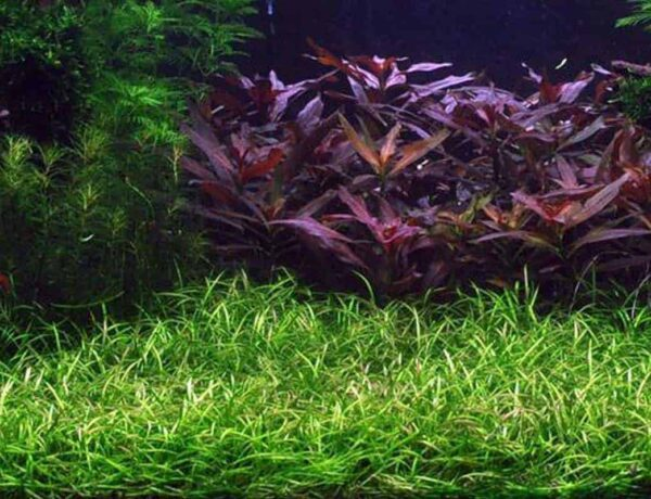 Pygmy Chain Sword Echinodorus Tenellus Care Guide Planting Growing And Propagation 2 4752123 600x460