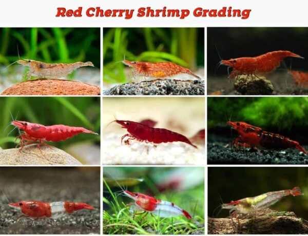 Small Wide Red Cherry Shrimp Grading 2 1 3159369 600x460