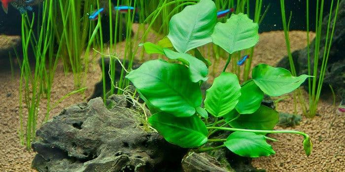 Anubias Barteri V Barteri Low Tech Aquarium Plants Low Tech Planted Tank Low Maintenance Plants Aquaticmag 8758540