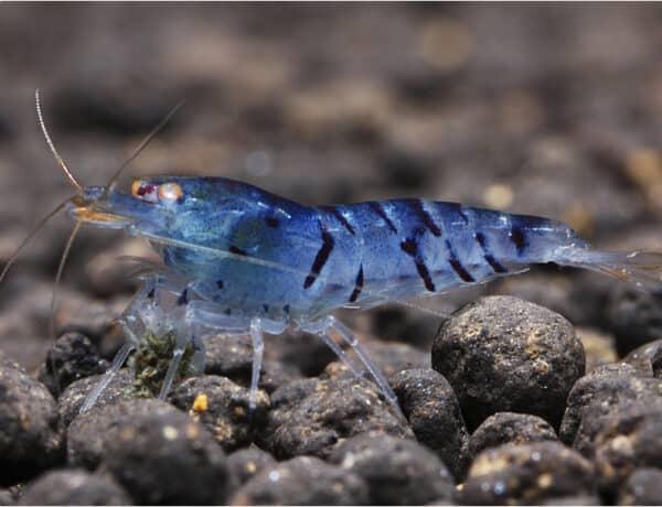 30 0 Blaue Tiger Zwerggarnele Caridina Cantonensis 1 6562003 600x460